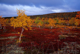 Sparse mountain birches, taiga-tundra transition zone