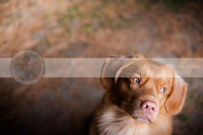 expressive red dog looking sideways with bokeh background