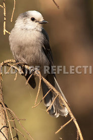 gray_jay_on_limb_3