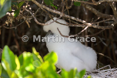 Red-Footed Booby (Sula sula) chick in the nest in Red Mangrove (Rhizophora mangle), Darwin Beach, Genovesa, Galapagos Islands