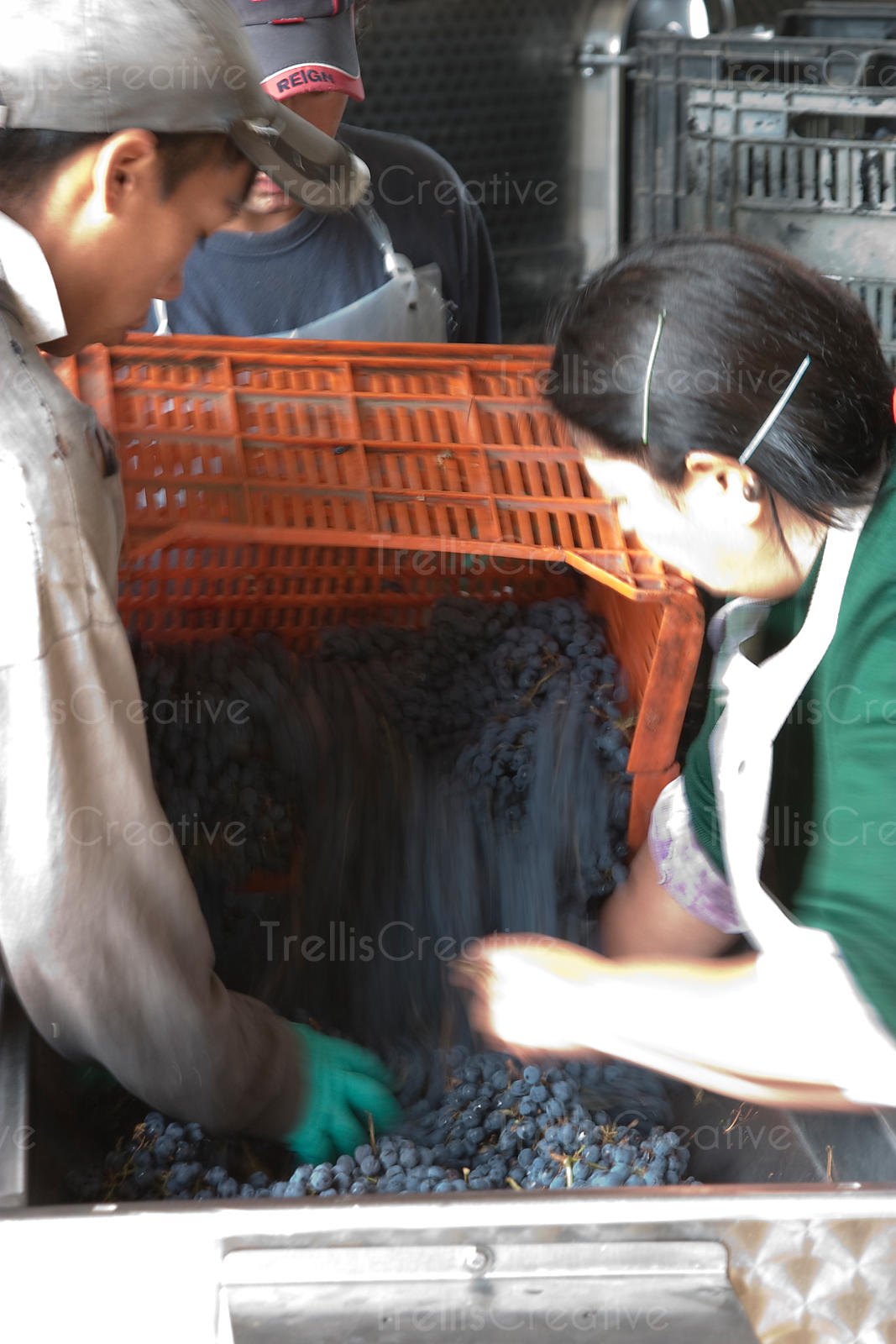 A winemaker dumps malbec wine grapes into a crusher destemmer after harvest