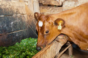 Well looked after ayrshire heifer eating chopped elephat grass in shed, Kenya.
