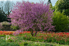 tulip meadow with cercis siliquastrum