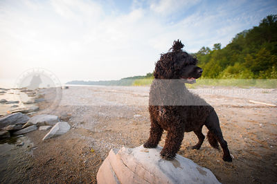 curly coated black dog standing on rock on sandy beach