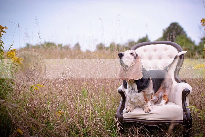 old tricolor dog looking skyward standing on chair furniture in field