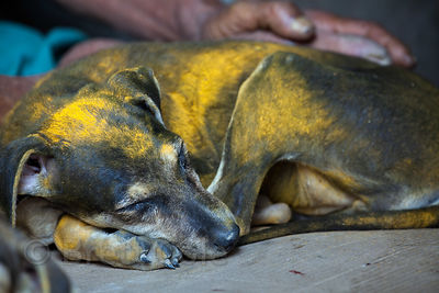 Dogs covered in yellow flower pollen at the Howrah Flower Market, Kolkata, India.