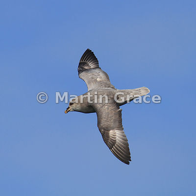 Northern Fulmar (Fulmarus glacialis) in flight, Spitsbergen, Svalbard