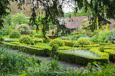 Box edged beds in the knot garden are filled with white forget-me-nots, Myosotis alpestris 'White'.