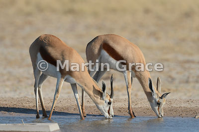 Springbok (Antidorcas marsupialis) drinking from the man-made Andoni waterhole, Etosha National Park, Namibia
