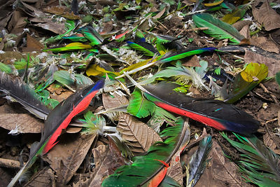 A pile of feathers (macaw, parrot?) on the forest floor, Tambopata River, Peruvian Amazon