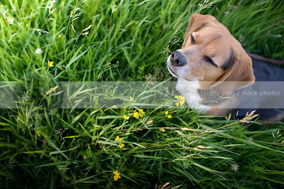 tricolor dog eyes closed resting meditating in flowers and grass