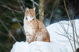 Lynx @ Bavarian Forest