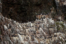 A colony of seabirds, known as the Common Guillemot, nesting on the high cliffs of Bear Island in Norway.