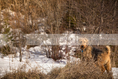 beautiful airedale peeking through tall dried grass in snowy landscape