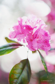 PINK RHODODENDRON BLOSSOM IN SPRING SMOKY MOUNTAINS