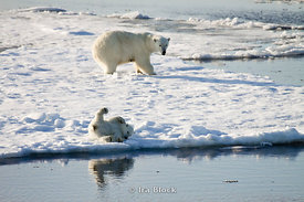 A young polar bear cub plays near the water as the mother polar bear looks on from a distance.