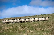 Northumberland trype Blackface ewes in pasture at Lambing time.
