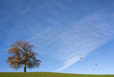 Falling leaves and oak tree in autumn