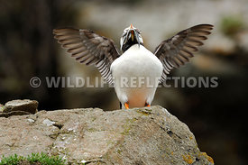 Horned Puffin Flapping 4