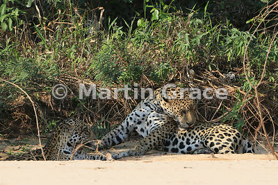 Male Jaguar (Panthera onca) 'Hero' (right) grooms himself, Three Brothers River, Northern Pantanal, Mato Grosso, Brazil. Image 7 of 62; elapsed time 3mins