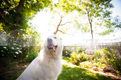 portrait of white great pyrenees dog in yard with summer sunshine