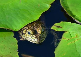 Frogs and Lilypads