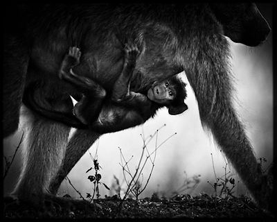 7472-Baby_baboon_under_his_mother_Laurent_Baheux