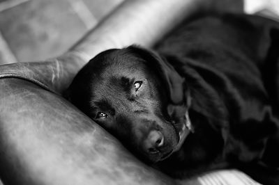 Undivided Love - Labradorable Range.