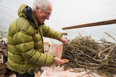 Ray Brown with freshly collected seed in a polytunnel. Plantworld, Newton Abbot, Devon, UK