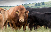 Limousin bull in with herd of commercial uckler beef cattle in the uplands, North Yorkshire, UK.
