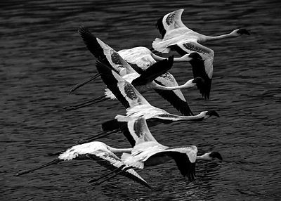 7426-Bird-Flamingos_Laurent_Baheux