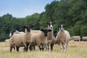 Mule ewes with suffolk sired lambs, Cotswolds, UK.