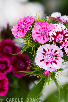 Sweet williams, Dianthus barbatus