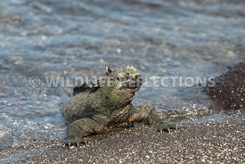 marine_iguana_waters_edge-8