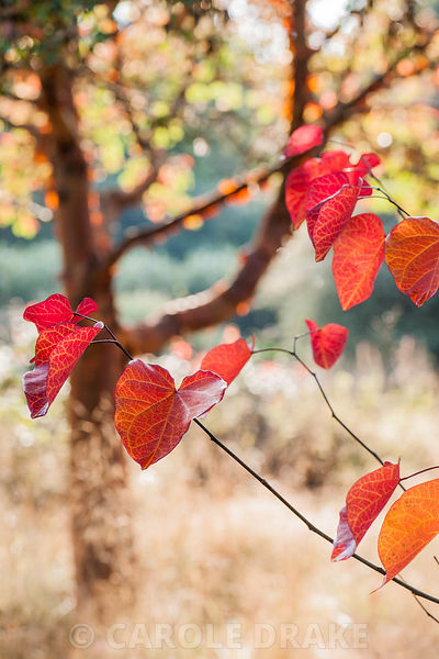Heart shaped leaves of Cercis canadensis 'Merlot' seen against the silhouette of a paperbark maple, Acer griseum.