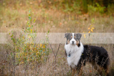 longhaired tricolor dog waiting standing in field