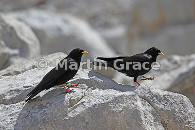 Two Alpine or Yellow-Billed Choughs (Pyrrhocorax graculus) both with leg rings, Picos de Europa, Cantabria, Spain