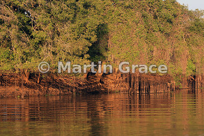 Golden early morning sunlight illuminates hanging vines and the roots of a riverside tree, Dark Creek, River Cuiabá, Mato Grosso, Brazil