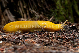 Banana Slug Forest Floor 1