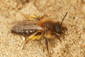 Andrena barbilabris, female