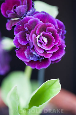 Auricula 'Doublet'. Summerdale House, Lupton, Cumbria, UK