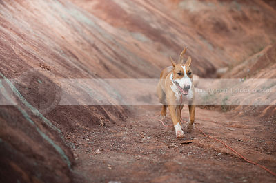 shorthaired tan and white dog running in red clay valley