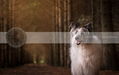 shaggy wirehaired mutt dog standing in forest of pine trees