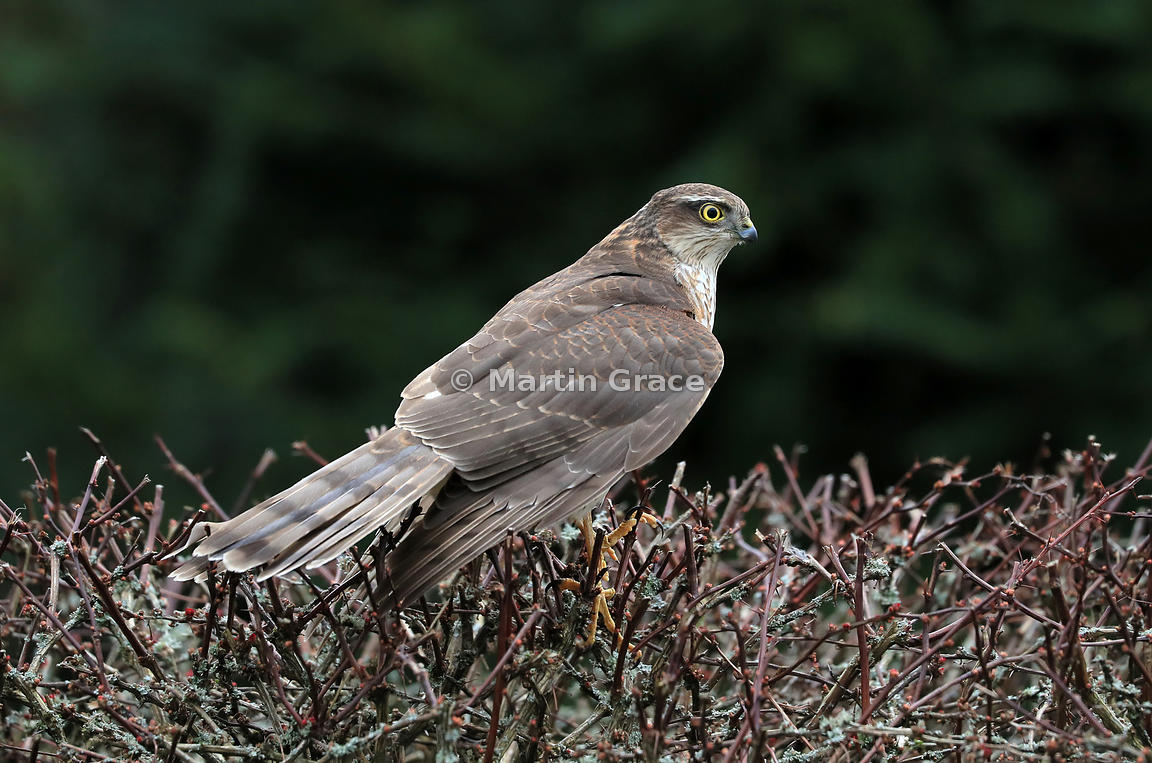 Juvenile male Eurasian Sparrowhawk (Accipiter nisus) in the top of a garden Japanese Barberry (Berberis thunbergii atropurpurea), Lake District National Park, Cumbria, England