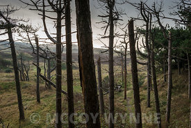 Pine Trees at Formby Point, Merseyside
