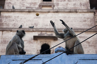 Langur monkeys catching vegetables thrown to them by passersby, Jodhpur, Rajasthan, India