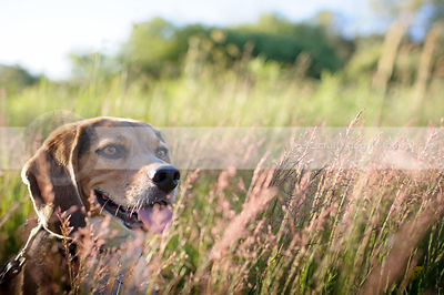 headshot of beagle dog in deep grass with sunshine