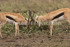 thomsons_gazelle_battle_43