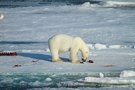 A polar bear feeding on a hearded seal carcass around Northeastern Svalbard.