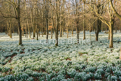 Thousands of gleaming snowdrops, Galanthus nivalis, carpet the ground beneath beech trees at Welford Park, Welford, Newbury, Berkshire, UK
